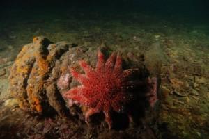 Sun starfish on wreck