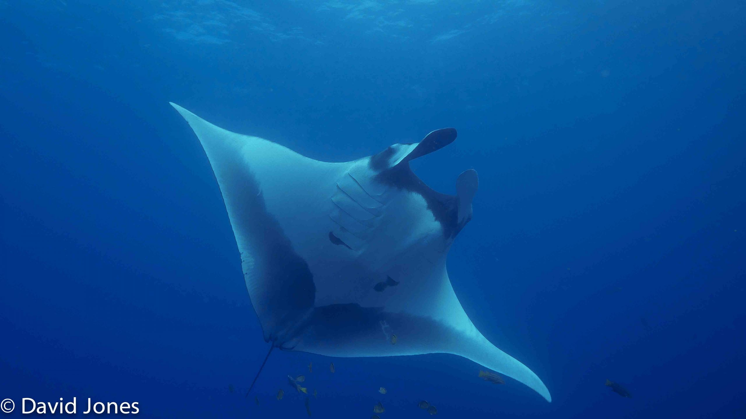 Manta Rays in the Galapagos