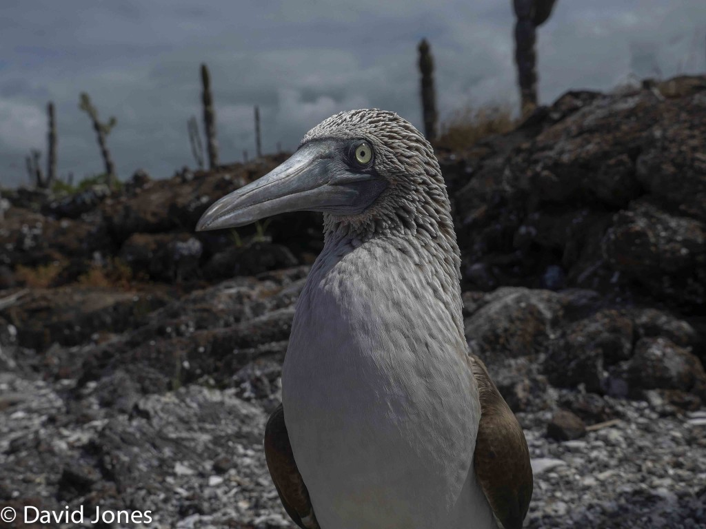 Blue Footed Booby, Galapagos