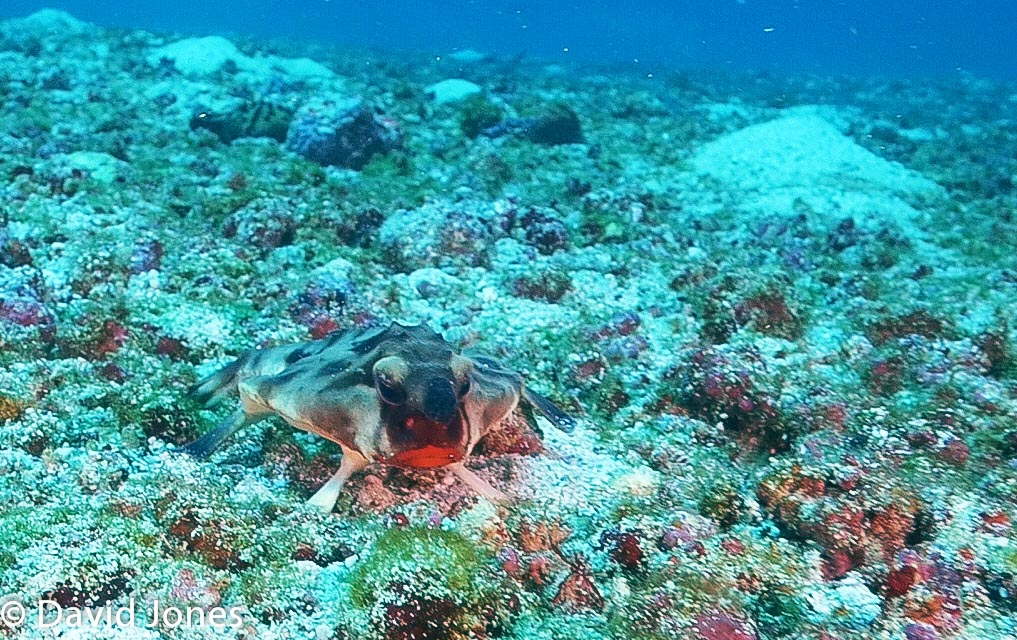 Red Lipped Batfish in Galapagos